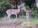 Wild life right in your own back yard (2 deer)