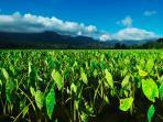 Taro field in Hanalei
