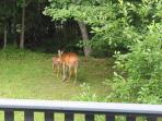 Deer playing in our backyard