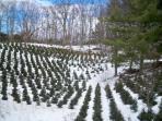 CHRISTMAS TREE FARM NEARBY