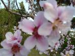 Flowering peach tree.