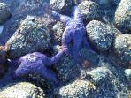 Walk along the ocean shore across from where we live and you can see purple starfish just like these