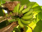 Banana trees, known as guineitos