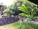 Dwarf mango tree in front with fruits at arms reach. Also orange trees.