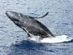 Watch the baby whales show off from the lanai!