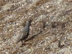 Mountain Quail visit daily (Viewed from lower deck)