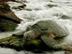 Punaluu Locals: Honu (Sea Turtle)
