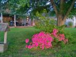 Our blooming azaleas