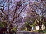 Jacarandas in blossom
