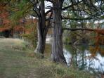 CYPRESS TREES ALONG THE BANK OF THE FRIO RIVER