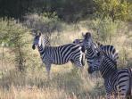Zebra's in the Kruger National Park