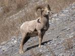Wildlife - Big Horned Sheep.  You can see many of them along the sideroads on your way to adventures