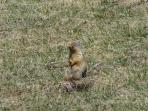 Wildlife - Groundhogs are running around at Mount Norquay!