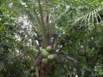 Coconuts in the property/noix de coco dans la propriété