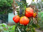 Tomatoes growing in aour garden