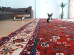 living room with my chihuahua