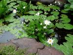 Lotus pond in the garden.