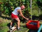 my husband Guido harvesting