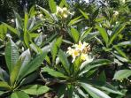 The plumeria, one of many beautiful trees and plants in the garden
