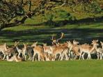 Dallam Deer
