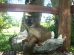 maison des lémuriens. Joseph, jeune lémur couronné