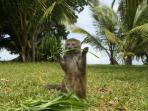 Marie, lémur bambou, en liberté