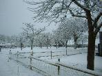 Orchard in the snow