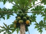 Papayas all year