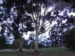 Beautiful lemon scented gums