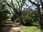 Our three beautiful rain trees providing shade on the driveway coming in to property.