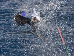 Sailfish charging the boat, caught off the coast of Playa Carrillo.