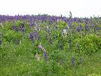 Field of Lupines ..just down the roaddown the road