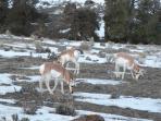 Antelope (pronghorns)