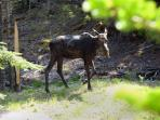 This ugly horse (known in Maine as a moose) was photographed in our driveway by a guest last summer.
