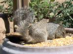 Our largest ground squirrel in U.S. lives here