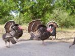 Wild Turkeys Abound in Sonoma County
