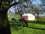 La yourte dans le verger en compagnie des ânes