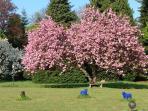 parc : cerisier japonais + brebis galeuse - Park (japanische Kirsche)