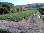 The organic backyard : beans 'zolfini' and patatoes