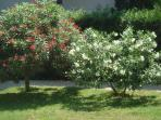 Lauriers en fleurs juin 2014