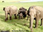 Wild Elephants at Minneriya park ( 8 KM Away - 15 minutes Drive from Bungalow.