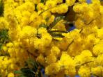Mimosa, typical flowers from Riviera