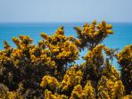 the yellow gorse thrives in dry sunny conditions such as Covehurst Bay