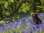 The spring bluebells flower in May and June