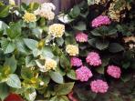 The plants of the terrace - hydrangea in bloom