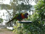 Lorikeets are all around us - every day!
