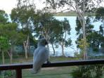 A Sulphur Crested Cockatoo 'raider' -  'checking out' our Passionfruit vines.