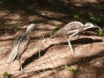Emblem of our islands, the Bush Thick Knees (Curlews) are everywhere!