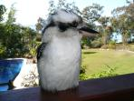 So many nearly tame Kookaburras; their laughter greets each morning.