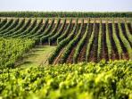 Les vignes de Charente pour le Cognac